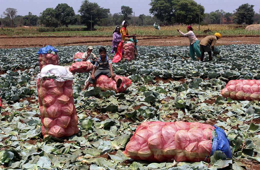 The harvest season just got over and normal to near-normal monsoon meant a rich crop yield. Photo: UNI