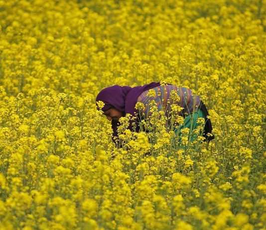 Will this woman's mustard field on the outskirts of Srinagar be safe from GM infusion? Photo: UNI