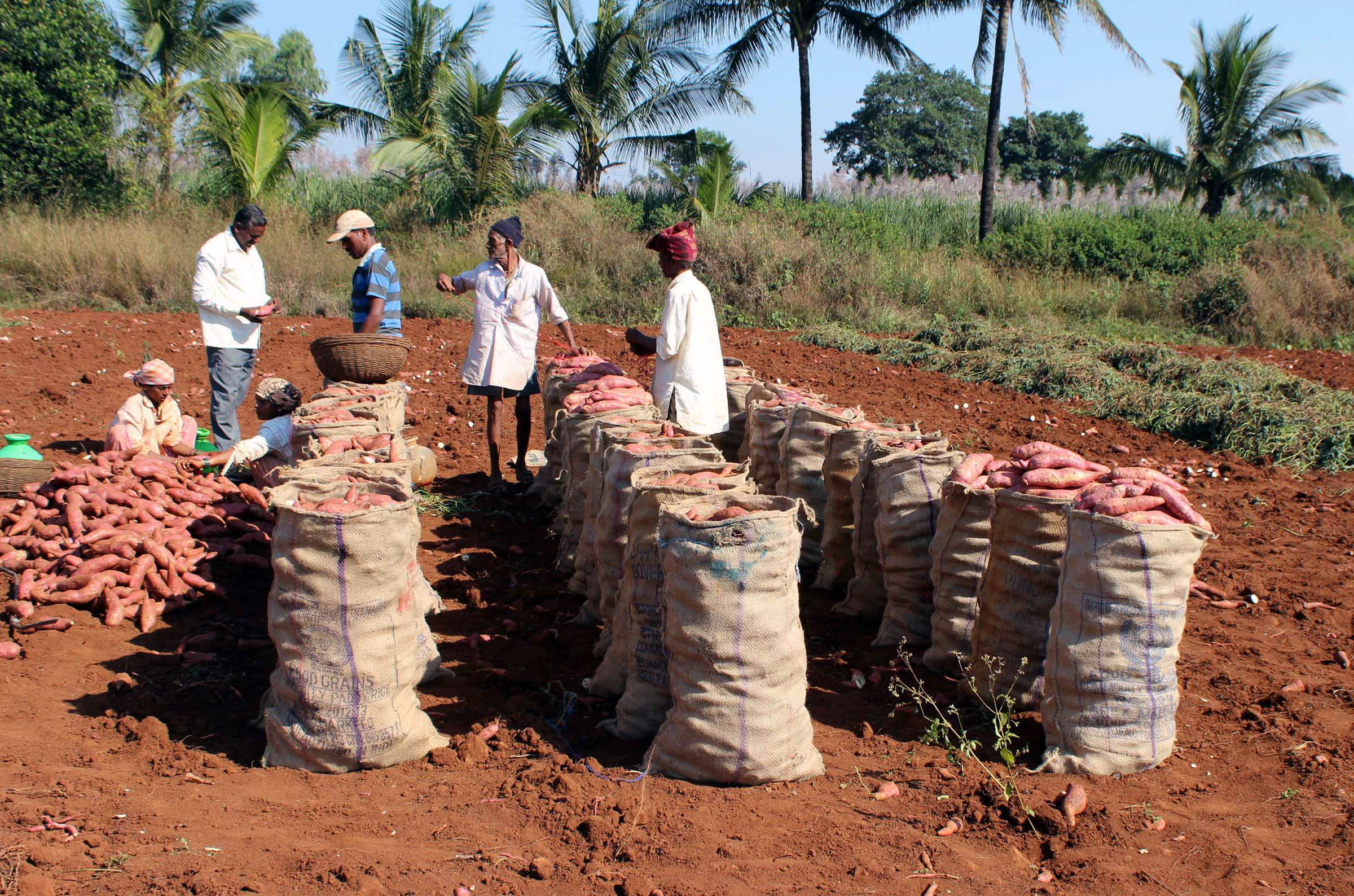 With sacks of crop lying with them, farmers feel the pressure of demonetization. Photo: UNI