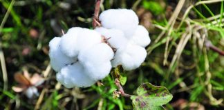 The Bt Cotton plant