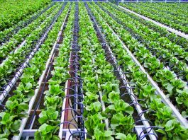 Drip Irrigation: Lessons from Israel