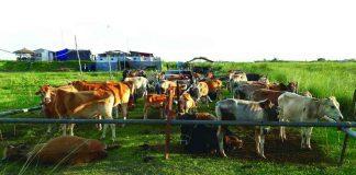 57 BSF Battalion seized around 100 cows at the Assam-Bangladesh border in Dhubri district. Photo: Twitter/@peteralextodd