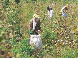 Workers harvest cotton in a field on the outskirts of Ahmedabad. Photo: UNI