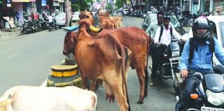 Stray cattle on a busy road in Bhopal