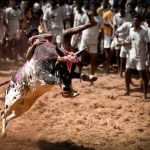 Jallikattu, buffalo racing matter comes up before SC for decision next week