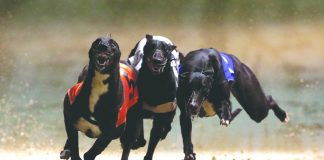 Greyhound Dog Races: Matter reaches Punjab and Haryana High Court