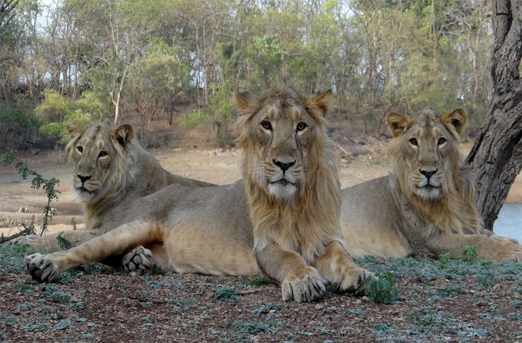 Gir Lions: Dying for Pride