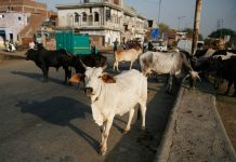 The menace of stray cattle has now affected movement of traffic on major roads and streets in UP/Photo: Anil Shakya