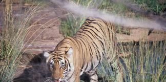 Uttarakhand has lost an alarming number of tigers to poachers in recent times/Photo: delhipedia.com