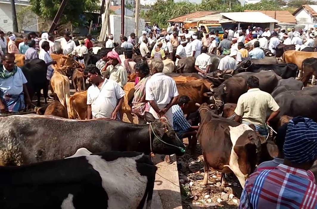 Gujarat HC Blocks State Govt's Bid to Play Appeasement Politics by Banning Livestock Export