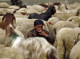 The UAE and Nepal are the two main countries which import live sheep and goats from India (Representational Image)/Photo: UNI
