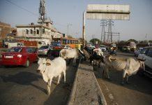 Cow-In-Delhi