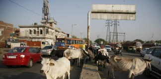 Stray cattle moving on roads is a likely cause of most road accidents/Photo: UNI