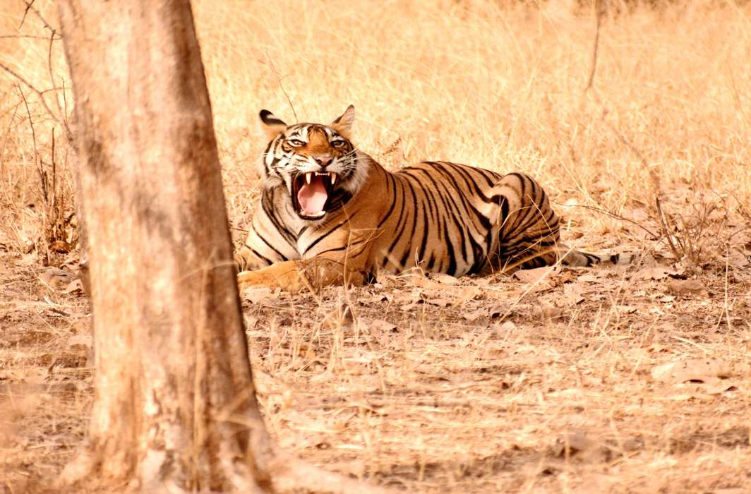 Poaching and tiger attacks on humans are on the rise due to human habitation in the vicinity of the tiger reserves/Photo: UNI