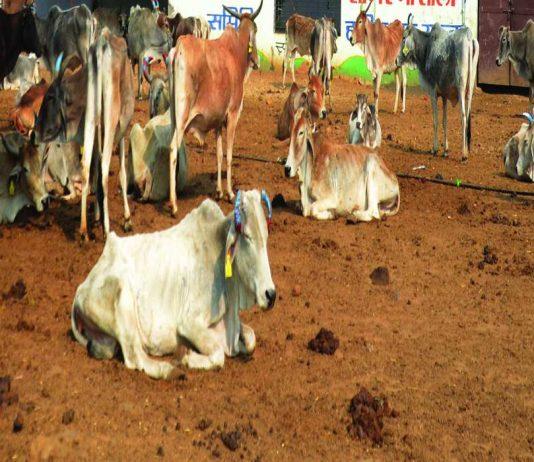 A cow with a UID tag/Photo: Pankaj Tiwari