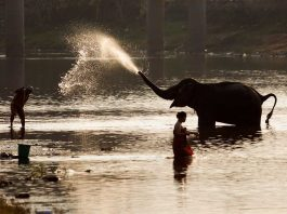 JUMBO LOVE: A mahout baths his pet before taking part in the Elephant Festival, in Sayaboury province, Laos, Reuters/UNI