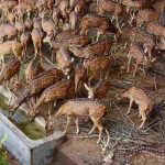 BEVY OF BEAUTIES: Spotted deer quench their thirst on a sunny day at Thiruvananthapuram Zoo, UNI