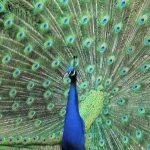 Moo-ing on with demonetisation, Priyanka Chopra's dress and peacock tears - APNLive