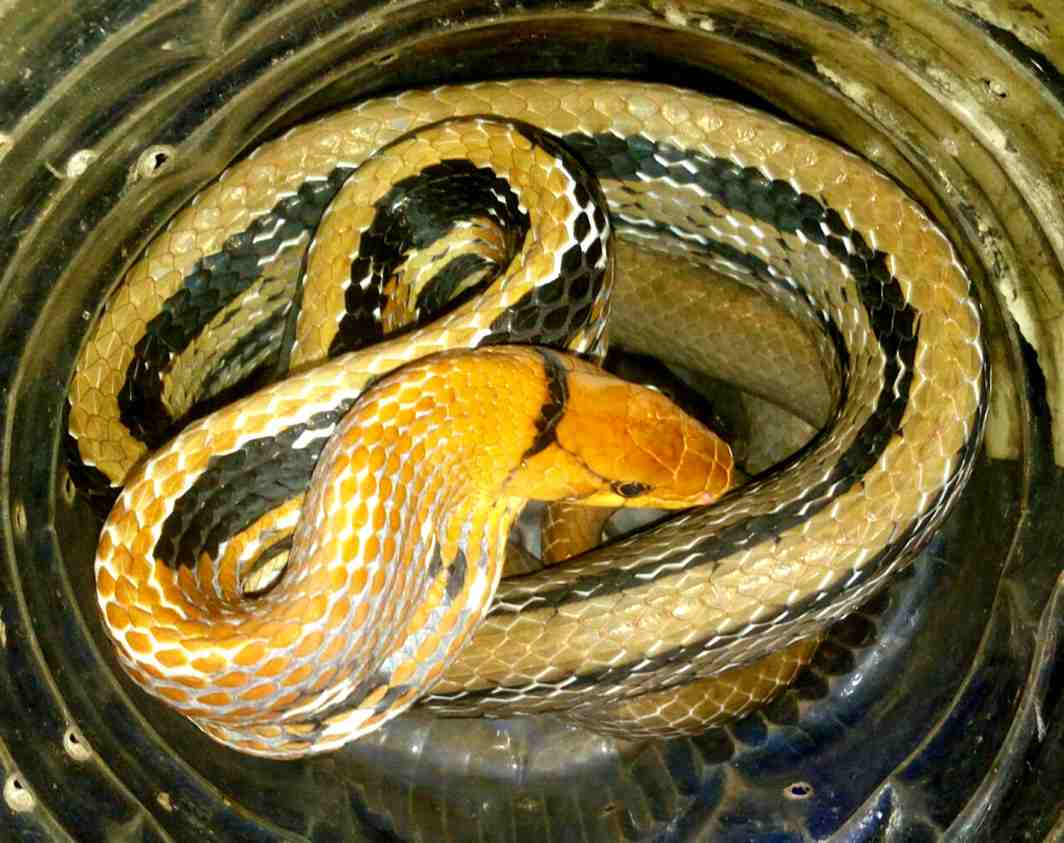RARE FIND: A 10-foot rare copper-headed ticket, which can change colour automatically, kept in a house at Dimna Chowk in Mango area in Jamshedpur, Jharkhand. This snake will be kept in Birsa Zoological Park at the Jharkhand state capital, Ranchi for public view, UNI