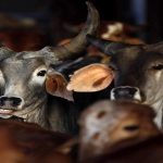 India's cattle industry hit by new rules, but it remains 3rd largest beef exporter: FAO report