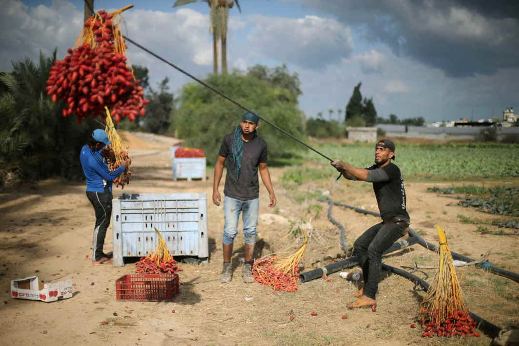 FRUIT OF LABOUR: Palestinians harvest dates from a palm tree in Deir al-Balah, in the central Gaza Strip, Reuters/UNI