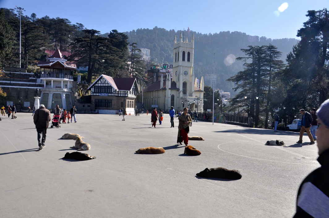 SERENDIPITY: Dogs bask at Ridge Maidan on a sunny day in Shimla, UNI