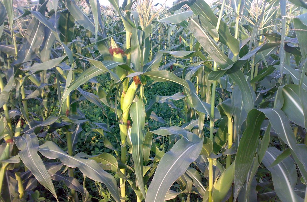 Scientists a step closer to developing disease resistant maize variety