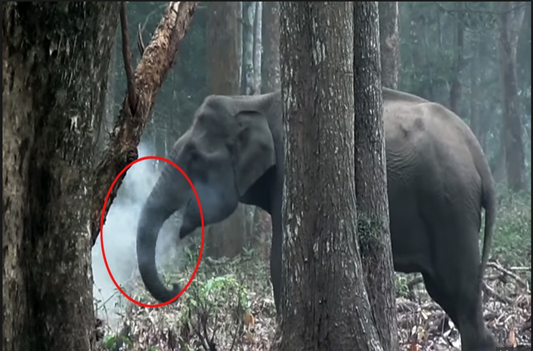 Elephant caught 'smoking' in Nagarhole baffles scientists worldwide