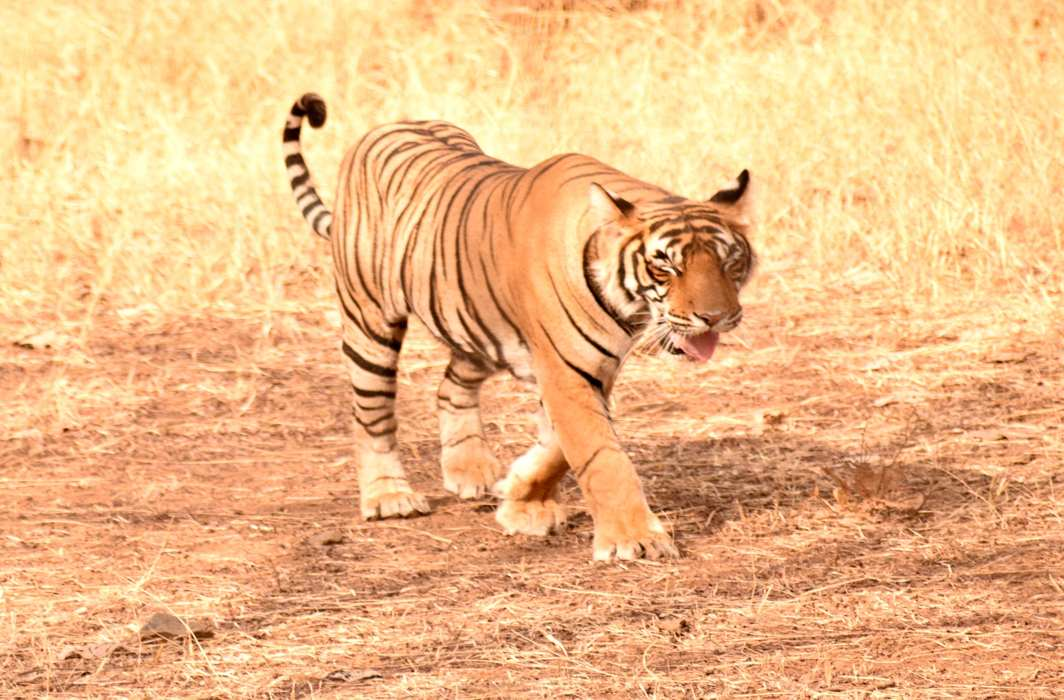 FOREST PRINCE: A tiger enjoys a pleasant morning in Ranthambore, UNI