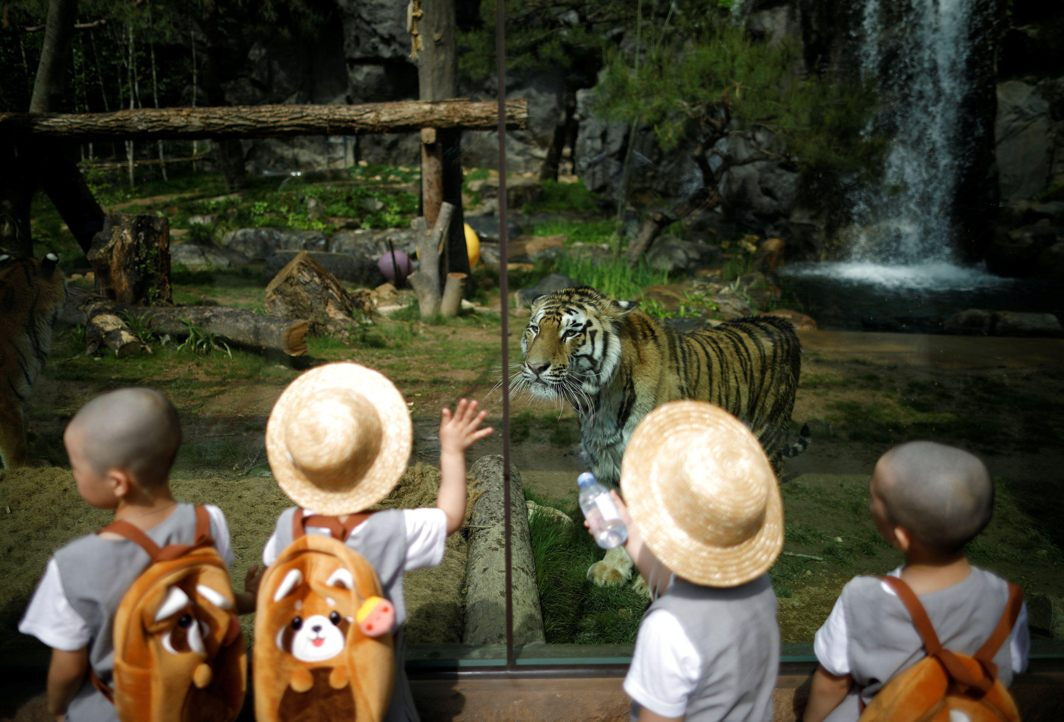 Boys, who are experiencing the lives of Buddhist monks by staying in a temple for two weeks as novice monks, look at a tiger at the Everland amusement park in Yongin, South Korea, Reuters/UNI