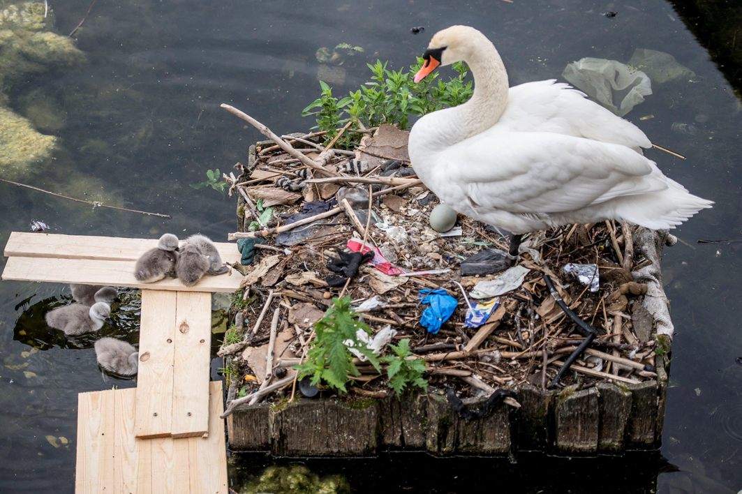 A swan and its cygnets are seen in a nest made partly of rubbish from the lake near Queen Louise's Bridge in Copenhagen, Denmark, Ritzau Scanpix/ Mads Claus Rasmussen/Reuters/UNI