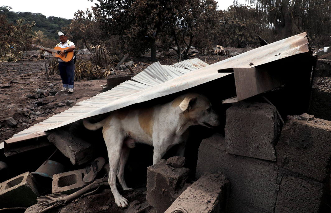 A dog is seen under a plate at an area affected by the eruption of the Fuego volcano at San Miguel Los Lotes in Escuintla, Guatemala, Reuters/UNI