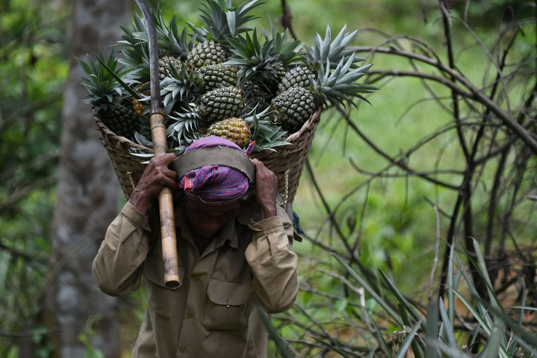 Labourers collect freshly harvested pineapples plucked from an orchard on the outskirts of Agartala in Tripura, UNI