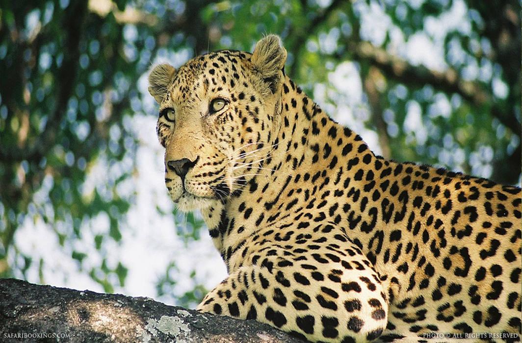Leopard in Greater Noida village