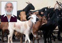 MP's Goat