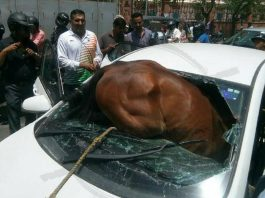 horse entered into car after breaking car's glass