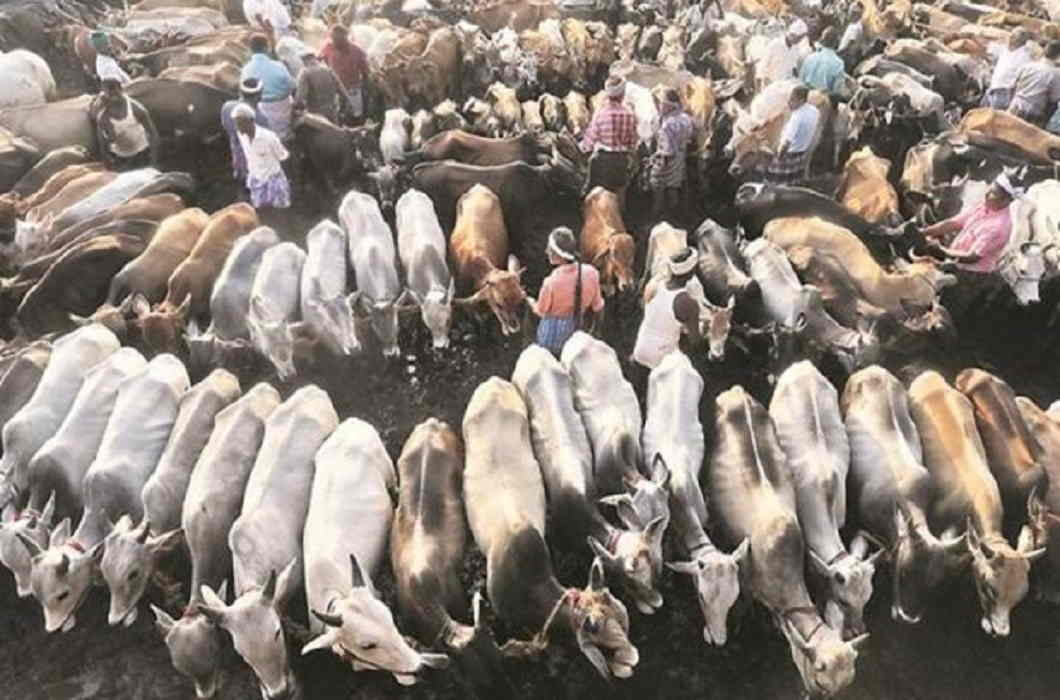 51 cows of Muslim family 'snatched by Alwar cops for no reason on the complaint of hindu activists