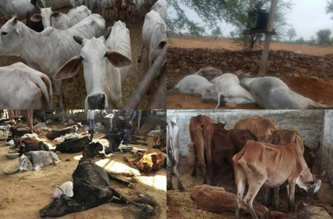 30 cows die from hunger and thirst in Chhattisgarh