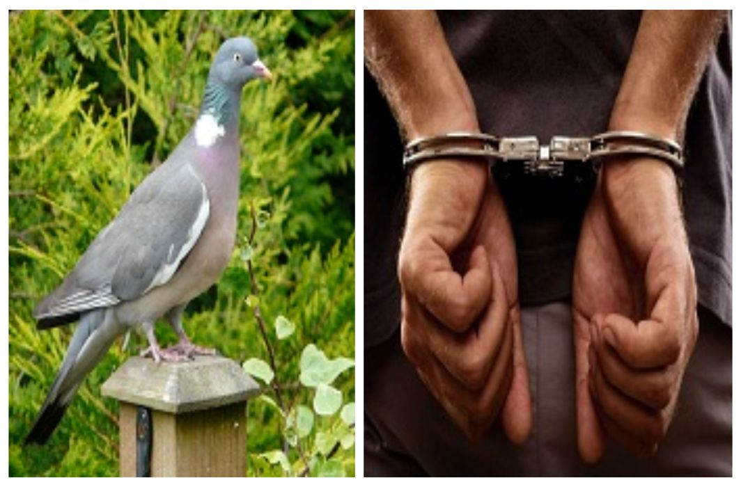 Sports betting on the basis of birds, Eight people arrested