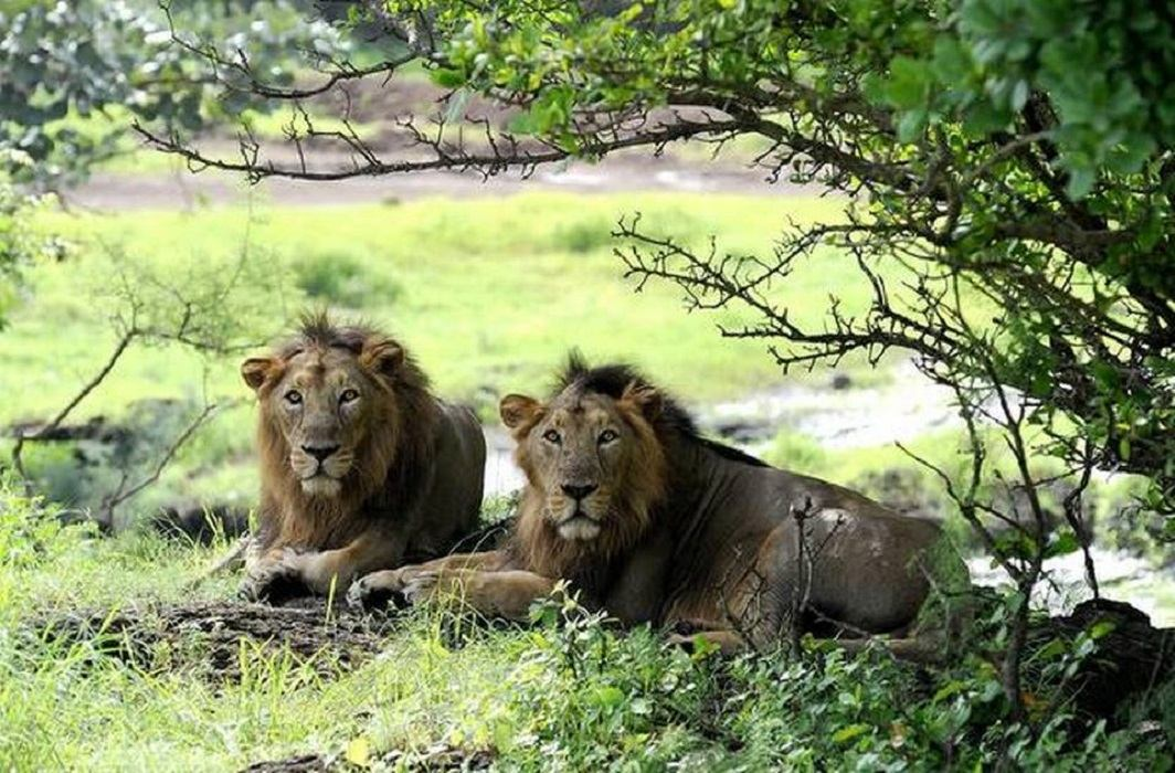21 lion die in 19 days due to virus in Gujarat's Gir forest