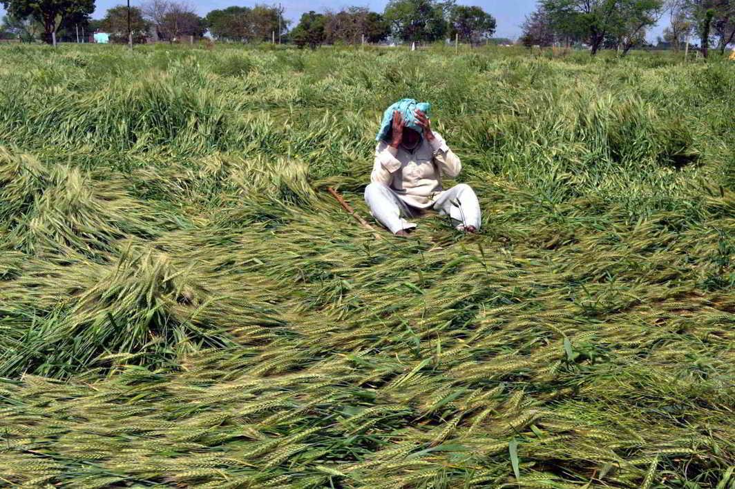 A farmer despairs as part of his wheat crop is destroyed following unseasonal rain. Photo: UNI