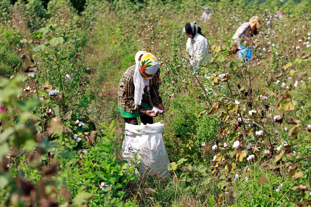 Workers harvest cotton near Ahmedabad. Bt cotton was approved in 2002. Photo: UNI