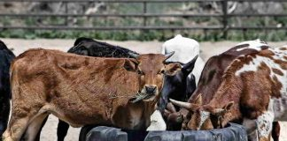 Three HC orders on cows: one calls for cows to be made the national animal