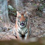Bombay HC quashes shoot order against tigress