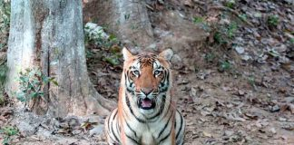 Bombay HC quashes shoot order against tigress