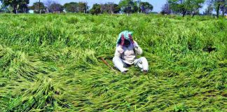 A distraught farmer at his field in Agra where the crop was destroyed by unseasonal rains. Photo: UNI