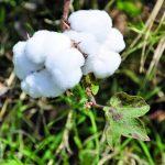The Bt Cotton plant