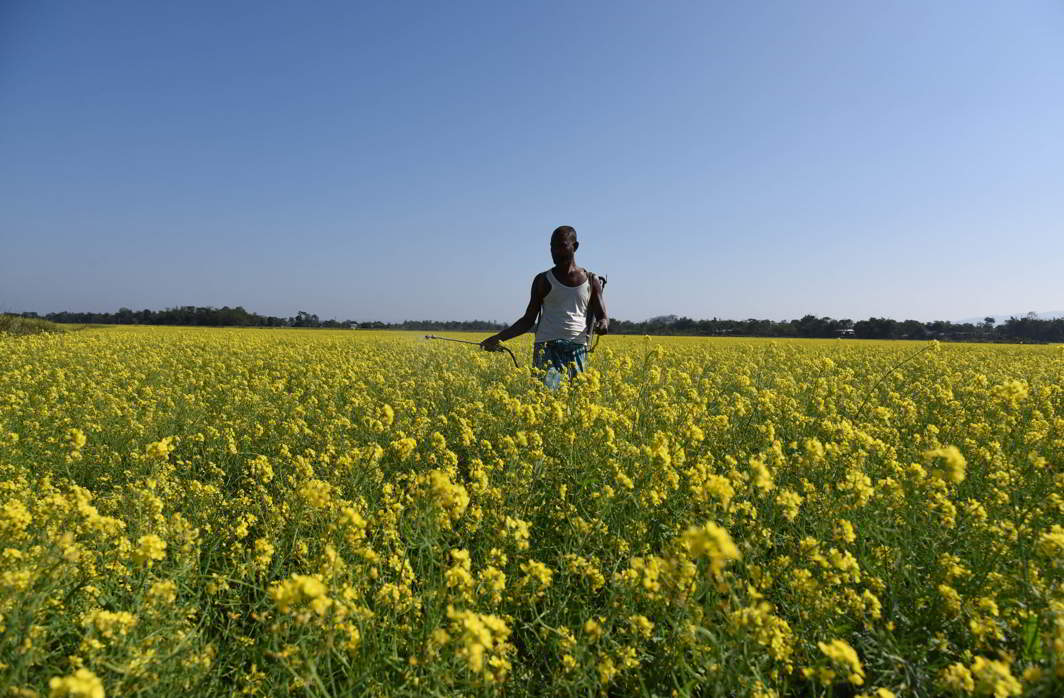 A farmer spraying pesticide in his mustard field at Mayang village near Guwahati (file picture). Photo: UNI