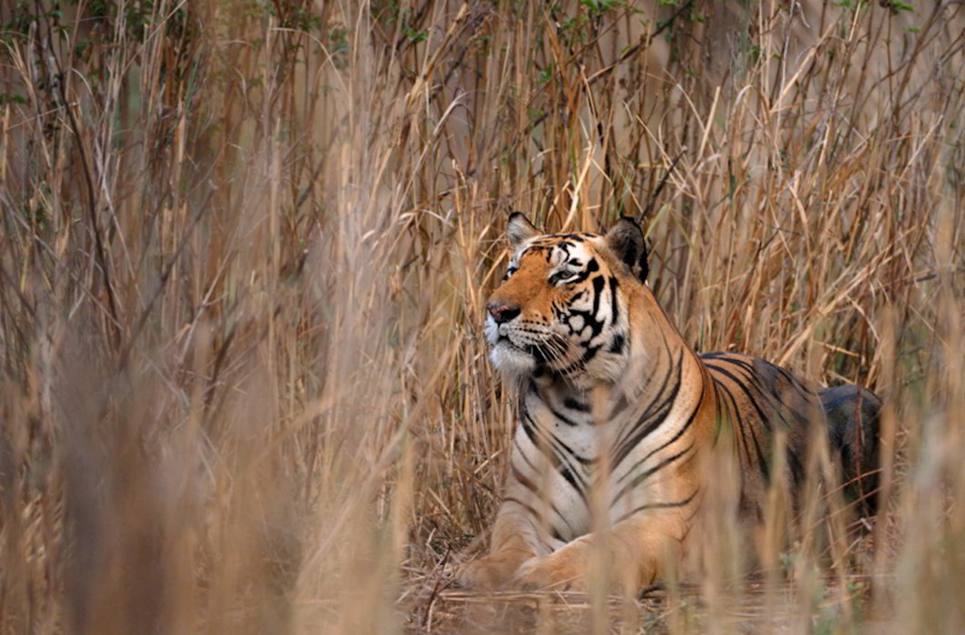 Tiger-in-Periyar-TIger-Reserve