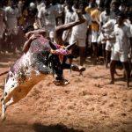 Jallikattu, buffalo racing matter comes up before SC for decision next week